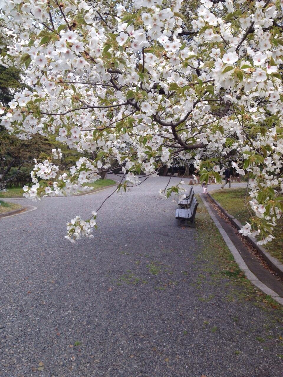 御所の桜が見頃です